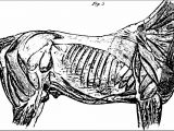 The Anatomy And Physiology Of The Horse With Anatomical And Questional Illustrations Picture Coloring Page