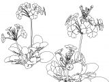Sakuraso Flower Coloring Page
