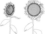 Sunflower Flower Coloring Page