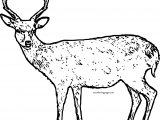 Spotted Deer Coloring Page