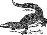 Also Crocodile Alligator Coloring Page