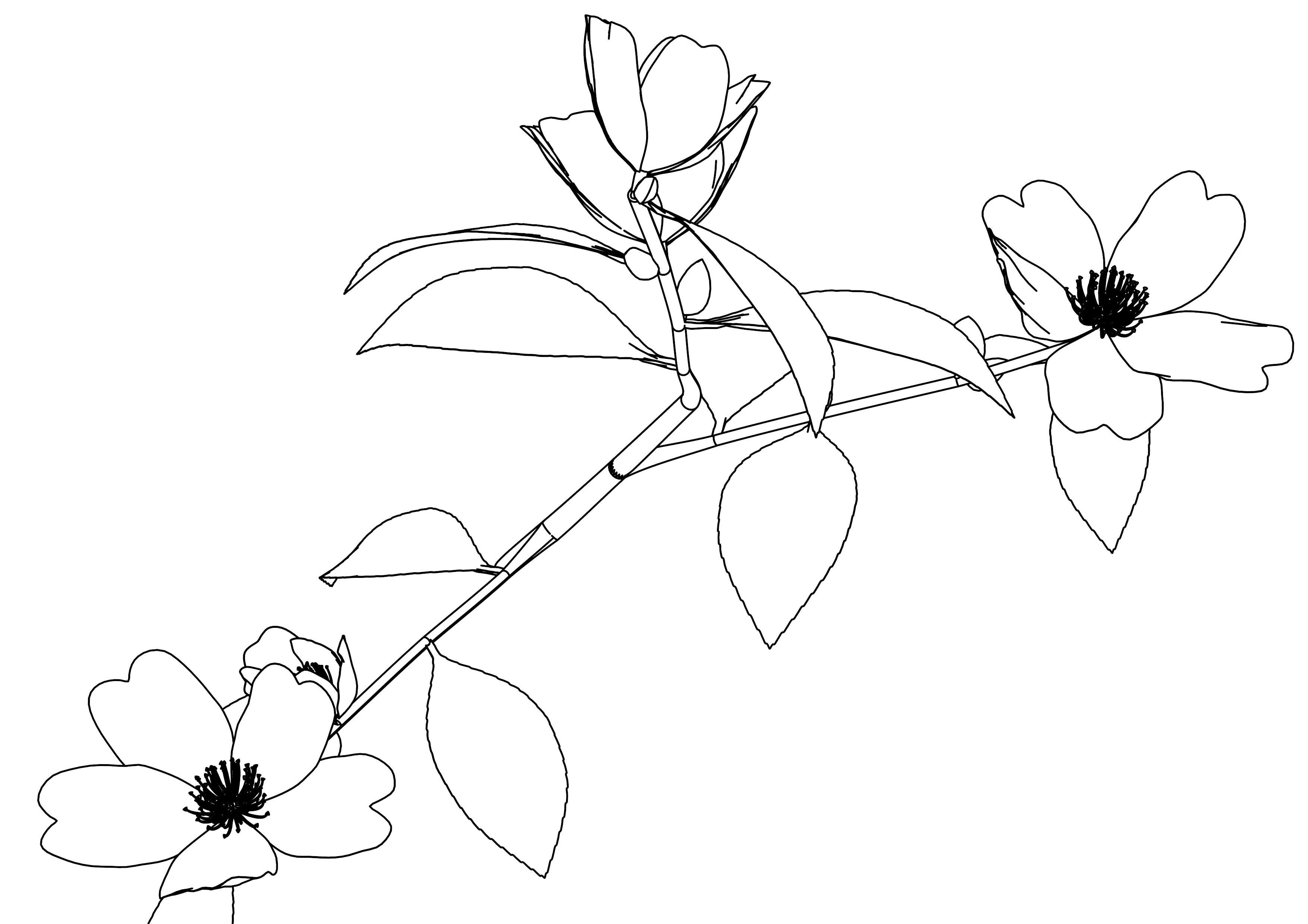 Sazanka Flower Coloring Page