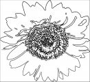 Sunflower 3 Flower Coloring Page